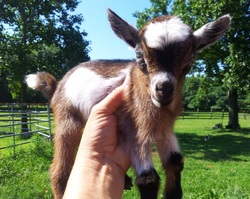 Pygmy Nigerian And Pygora Goats Can Live For 8 To 15 Years On Average If You Take Care Of Them Really Well They Sometimes Up 16 Or